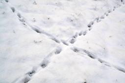 Fox Track Saltire